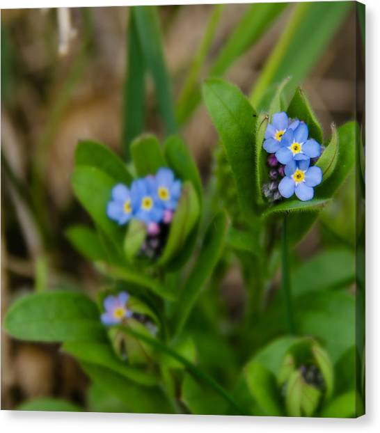 Forget Me Not Softly Canvas Print