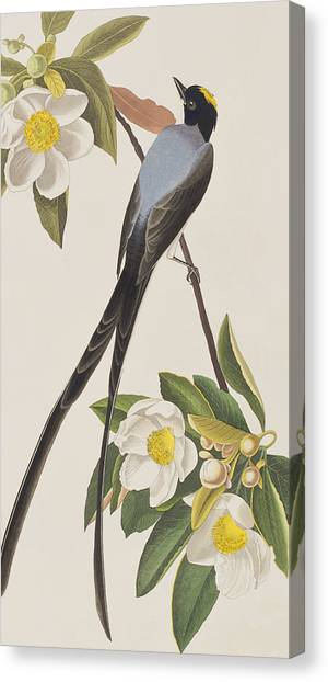 Flycatchers Canvas Print - Fork-tailed Flycatcher  by John James Audubon