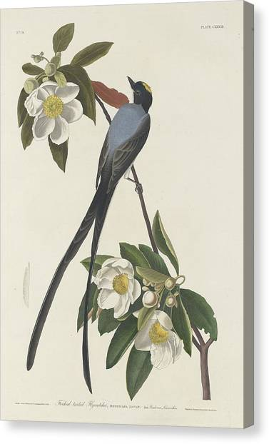 Flycatchers Canvas Print - Forked-tail Flycatcher by Dreyer Wildlife Print Collections
