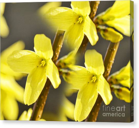 Forsythia Three Canvas Print