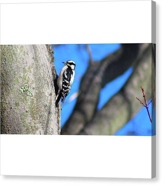 Woodpeckers Canvas Print - Found This Guy While Watching My Bird by Bryan Edwards