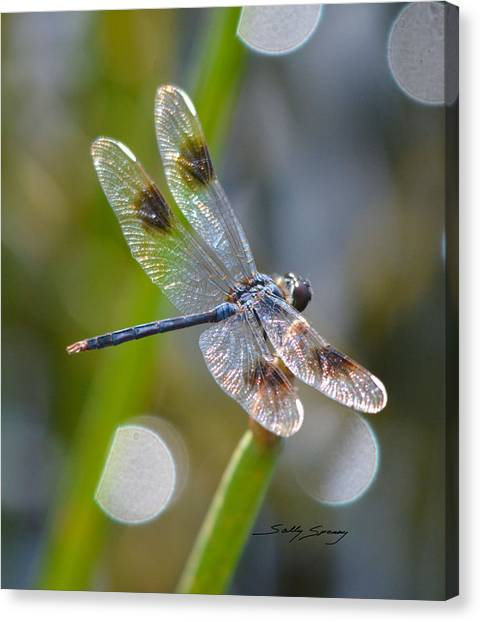Four Spotted Pennant Canvas Print
