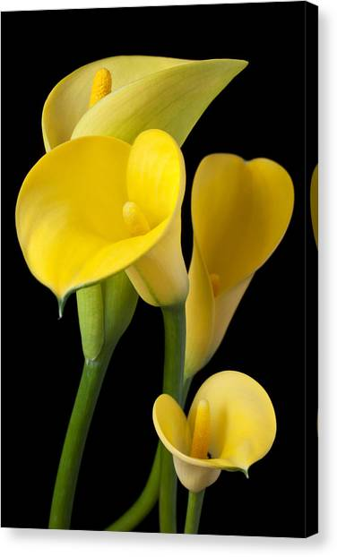 Floral Canvas Print - Four Yellow Calla Lilies by Garry Gay