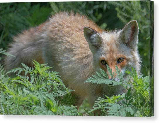 Fox In The Ferns Canvas Print