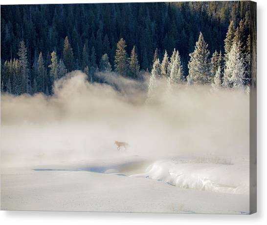 Fox In The Mist // Yellowstone National Park  Canvas Print