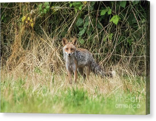 Fox In The Woods Canvas Print