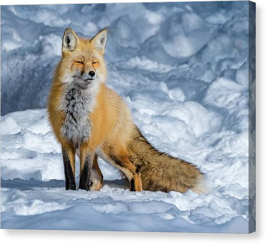 Fox On A Winter Afternoon Canvas Print