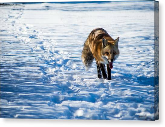 Fox Path Canvas Print