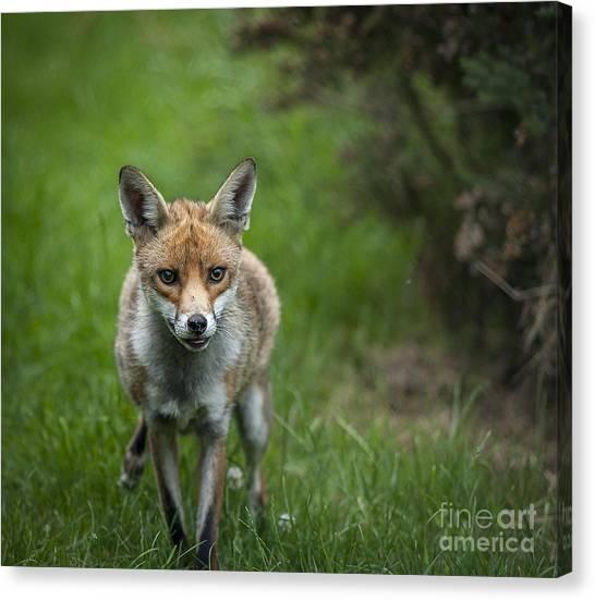 Fox Canvas Print by Philip Pound
