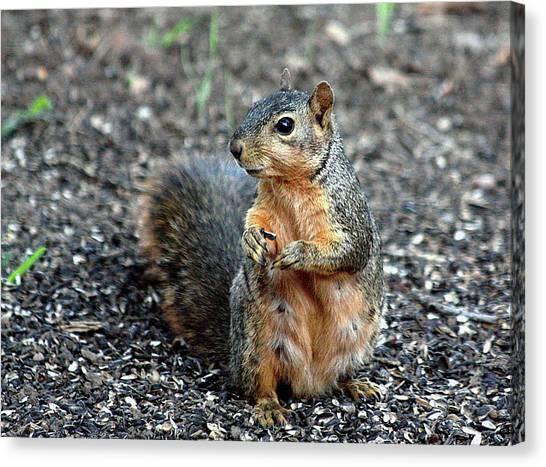 Fox Squirrel Breakfast Canvas Print