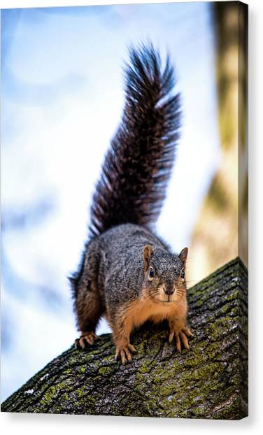 Canvas Print featuring the photograph Fox Squirrel On Alert by Onyonet  Photo Studios