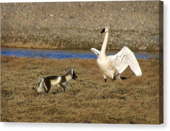 Fox Vs Tundra Swan Canvas Print