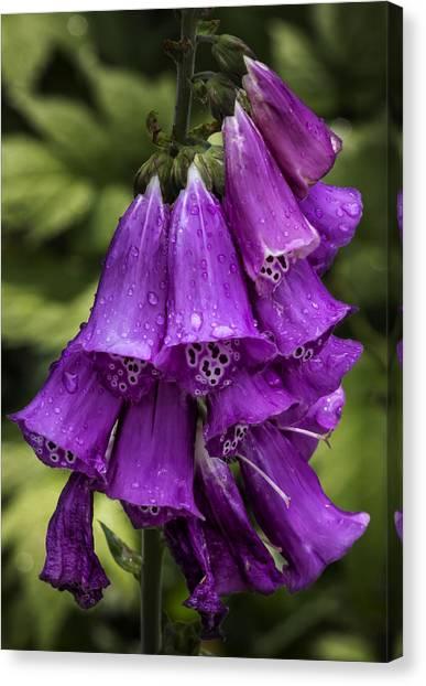 Foxglove Flowers Canvas Print - Foxglove And Rain Drops by Robert Ullmann