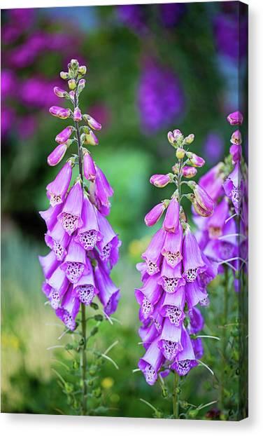 Foxglove Blooms Canvas Print