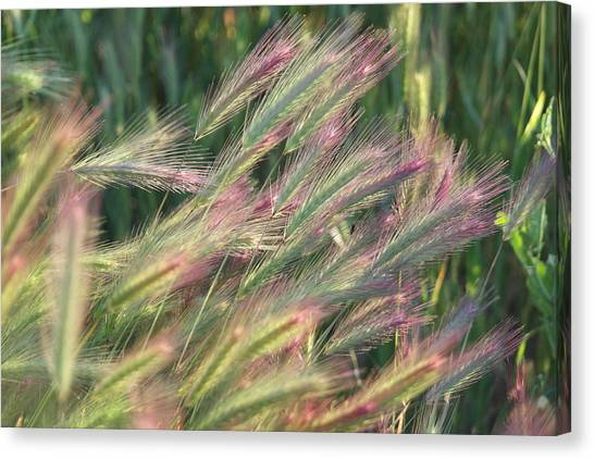 Foxtails In Spring Canvas Print