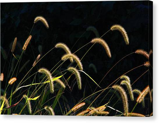 Foxtails Canvas Print