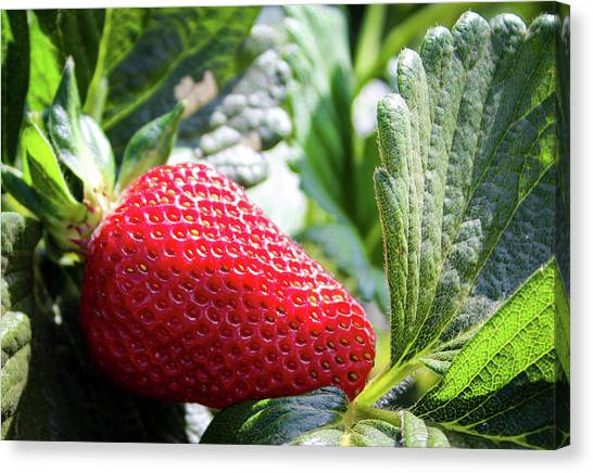 Canvas Print featuring the photograph Fraise by Alison Frank