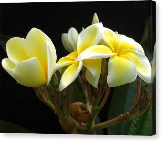 Frangipani Blossoms Canvas Print by Frederic Kohli