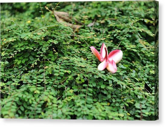 Frangipani Flower Canvas Print by Jessica Rose