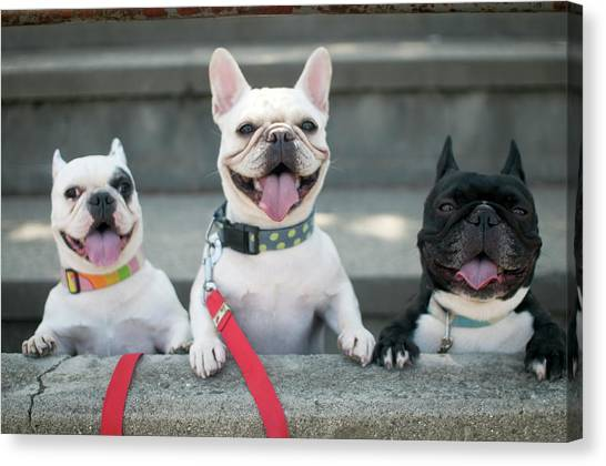 Dogs Canvas Print - French Bulldogs by Tokoro