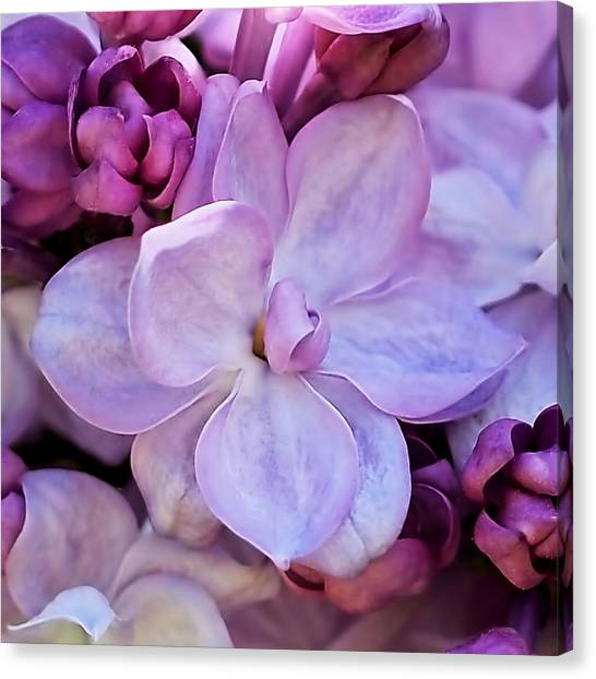 French Lilac Flower Canvas Print