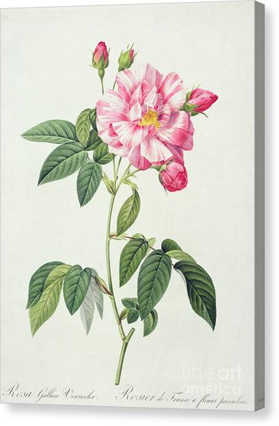 Rose In Bloom Canvas Print - French Rose by Pierre Joseph Redoute