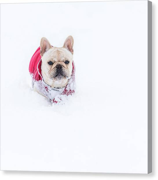 Frenchie In The Snow Canvas Print