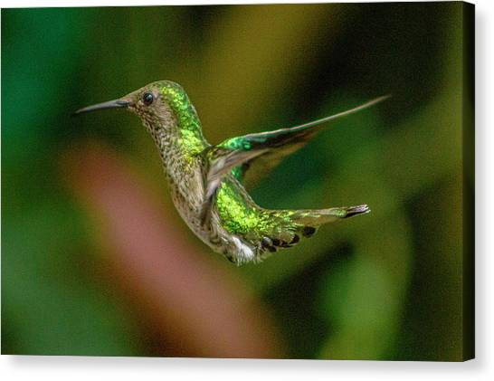 Frequent Flyer 2, Mindo Cloud Forest, Ecuador Canvas Print