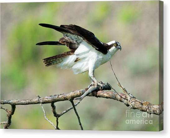 Osprey Canvas Print - Fresh Fish by Mike Dawson