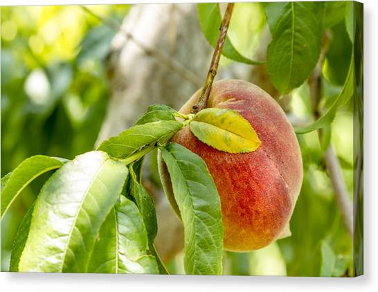 Locally Grown Canvas Print - Fresh Peach Hanging In Orchard by Teri Virbickis