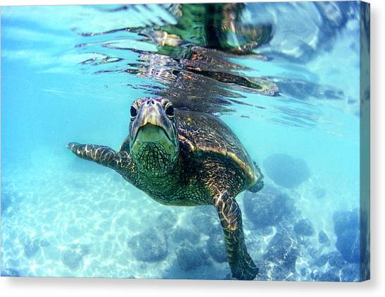 Turtles Canvas Print - friendly Hawaiian sea turtle  by Sean Davey