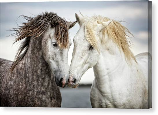 Black Stallion Canvas Print - Friends Iv - Colour by Tim Booth