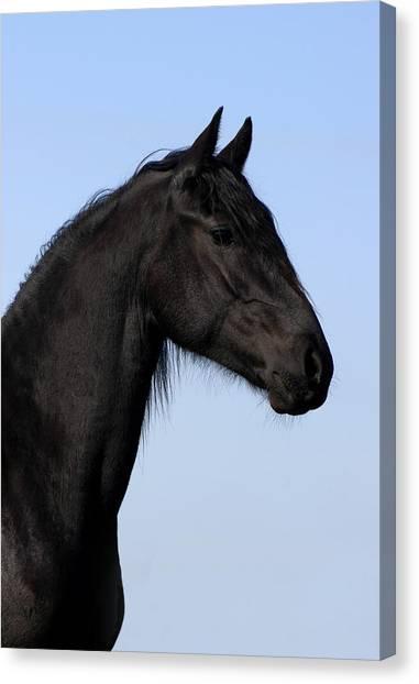 Black Stallion Canvas Print - Friesian Stallion by Michael Mogensen
