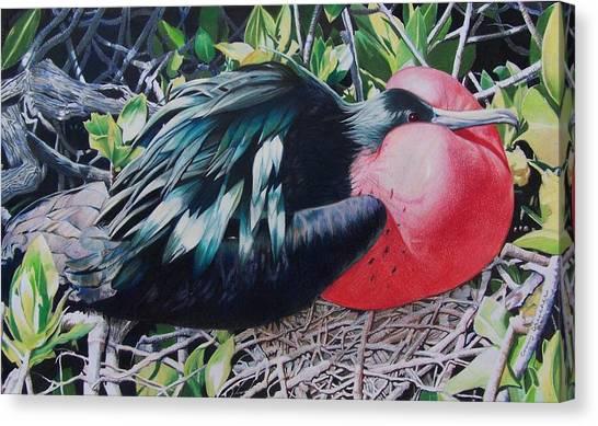 Frigate Bird  Canvas Print