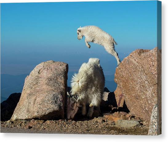 Leaping Baby Mountain Goat Canvas Print