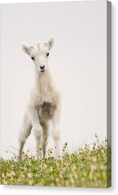 Sheep Canvas Print - Frisky Lamb by Tim Grams