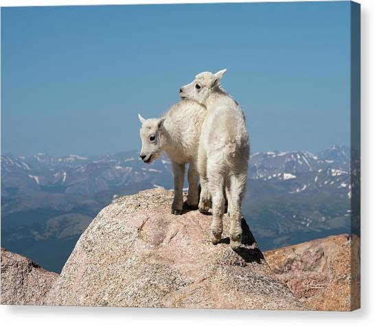 Frisky Mountain Goat Babies Canvas Print