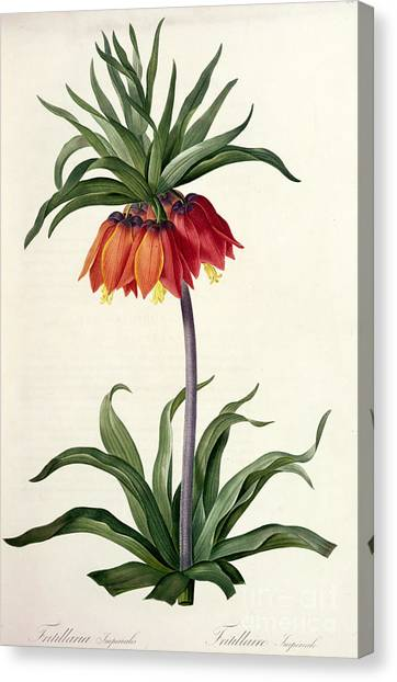 Spring Canvas Print - Fritillaria Imperialis by Pierre Joseph Redoute