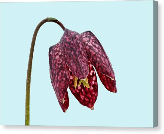 Canvas Print featuring the photograph Fritillaria Meleagris - Blue Background by Paul Gulliver