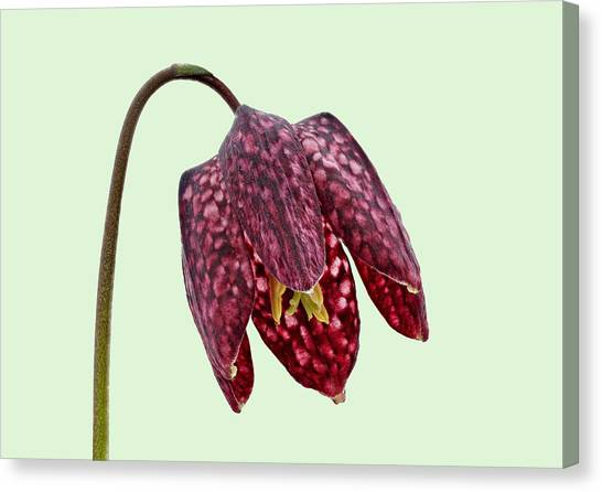 Canvas Print featuring the photograph Fritillaria Meleagris - Green Background by Paul Gulliver