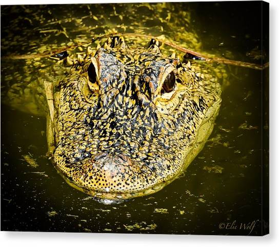 From The Series I Am Gator Number 5 Canvas Print