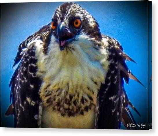 From The Series The Osprey Number 3 Canvas Print