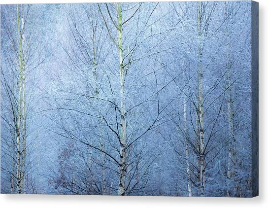 Sherwood Forest Canvas Print - Frosted by Chris Dale