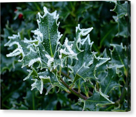 Frosted Holly Canvas Print