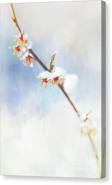 Frosted Witch Hazel Blossoms  Canvas Print