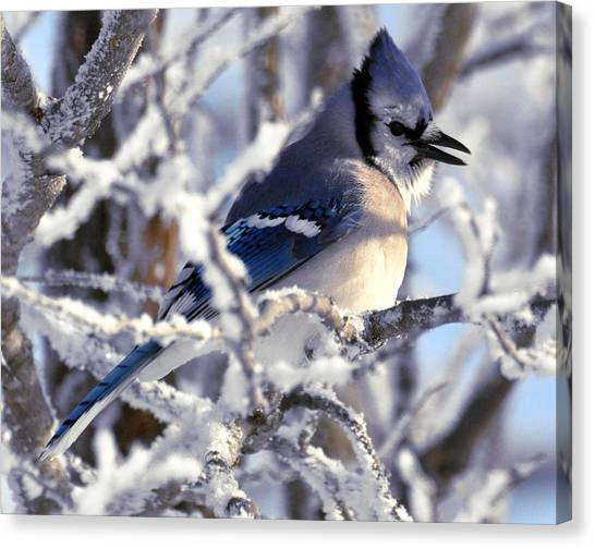 Frosty Morning Blue Jay Canvas Print