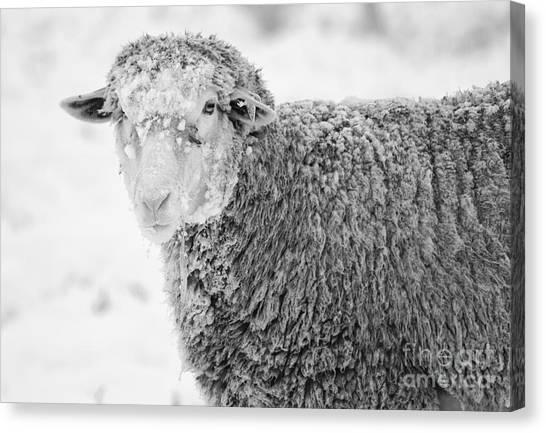 Sheep Canvas Print - Frozen Dinner by Mike  Dawson