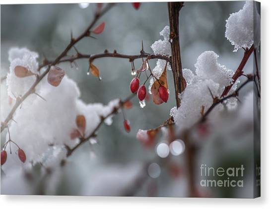 It's Berry Cold Canvas Print