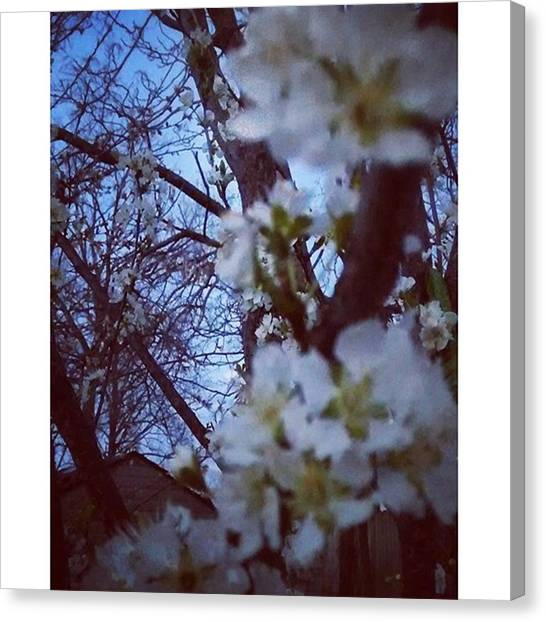 Food And Beverage Canvas Print - Fruit Trees In Bloom. #spring #fruit by Genevieve Esson