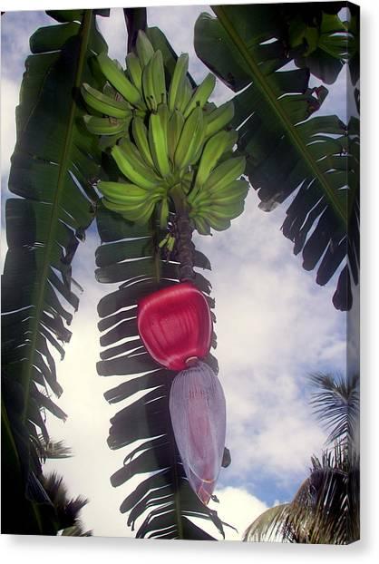 Banana Tree Canvas Print - Fruitful Beauty by Karen Wiles